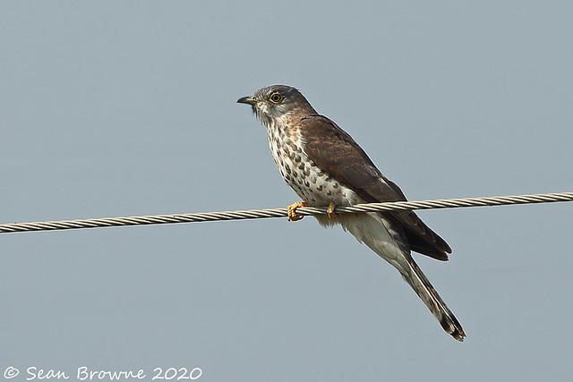 Common Hawk Cuckoo (Hierococcyx varius)