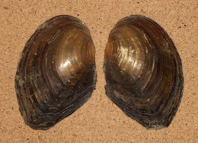 Chinese pond mussel (Sinanodonta woodiana woodiana)