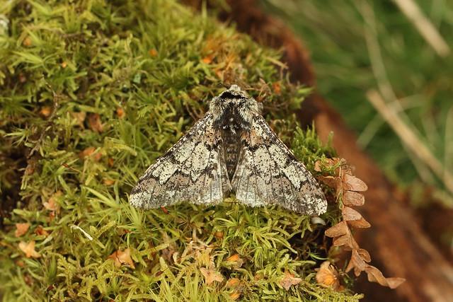 70.251 Oak Beauty (Biston strataria), Loch Rannoch, Perthshire