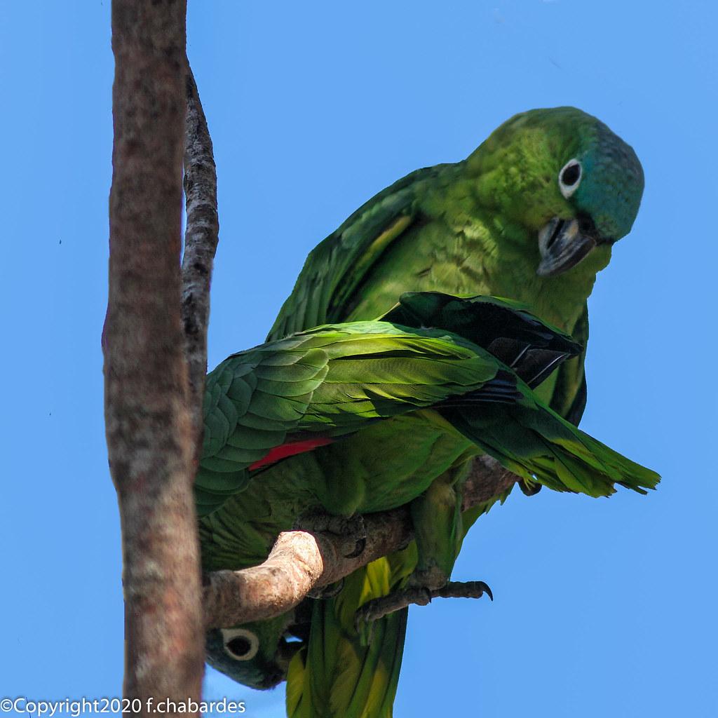 Amazone poudrée Petencito_070333_Guatémala