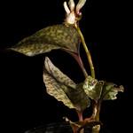 [Sabah Borneo, Malaysia] Nephelaphyllum pulchrum Blume, Bijdr. Fl. Ned. Ind.: 373 (1825)
