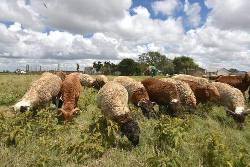 Dorper and Red Maasai sheep at the ILRI Kapiti Research Station
