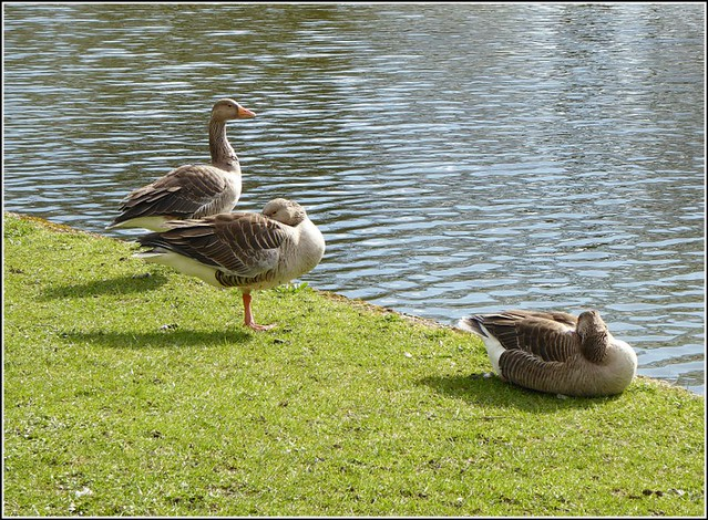 Three Geese in the Park ...