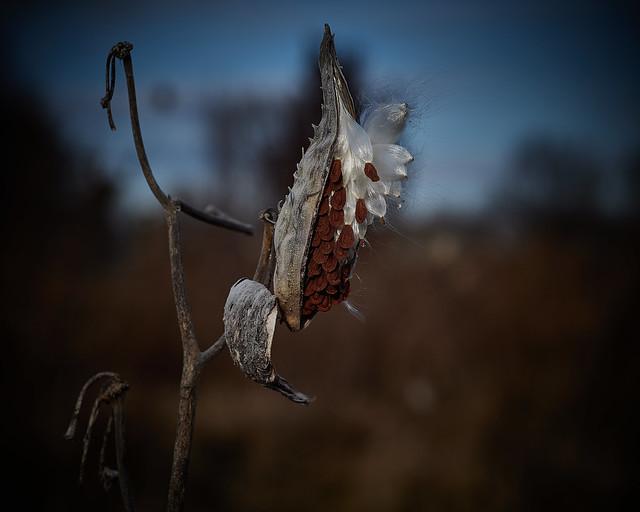 milkweed, in afternoon, 12-7-19 4