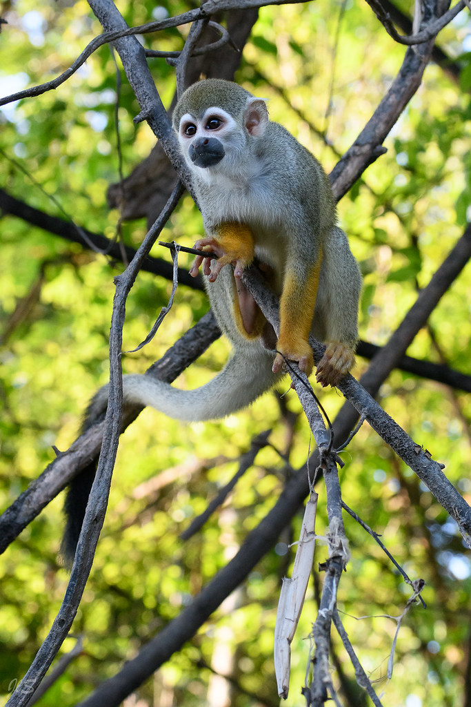 Common squirrel monkey, Saïmiri commun