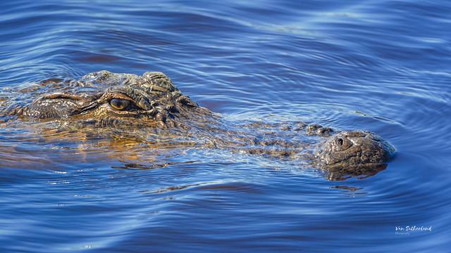 American Alligator - Explored!  Thanks!