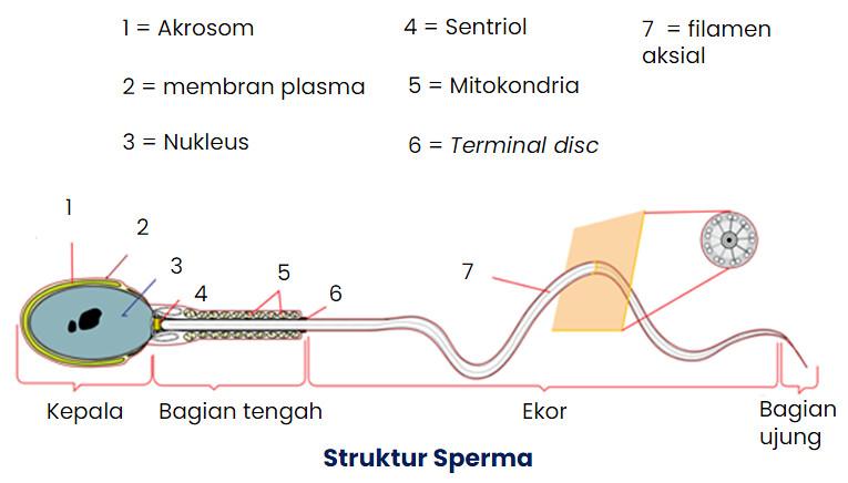 Struktur Dan Fungsi Sistem Reproduksi Pada Manusia Kelas Pintar