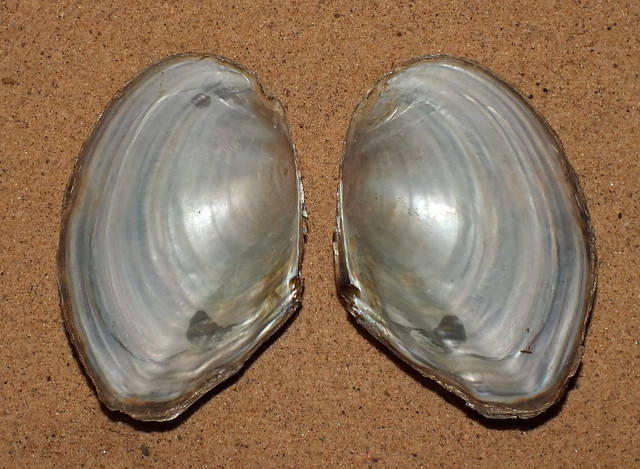 Chinese pond mussel (Sinanodonta woodiana woodiana) under side