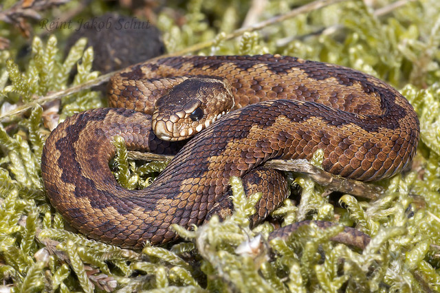 Adder - Common European viper - Vipera berus