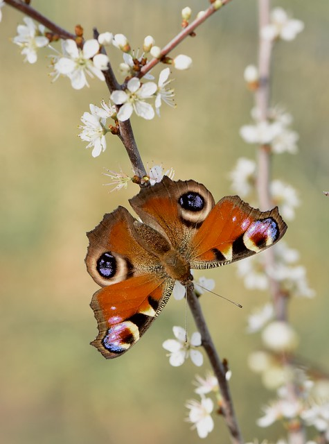 Papillon Paon du jour