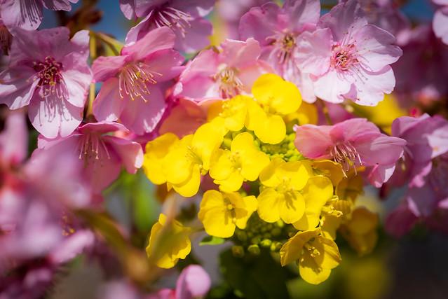薄寒桜と菜の花 #5ーA cold cherry tree and canola flower #5
