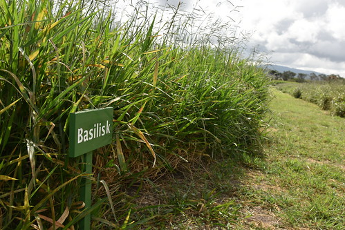 Basilisk variety of Brachiaria grass at ILRI's Kapiti Research Station