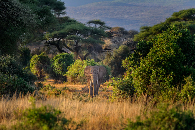 Elephant in the early morning light among the acacia trees in Amboseli National Park, Kenya, East Africa