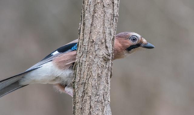 Peekaboo  (Eurasian Jay / Garrulus glandarius)