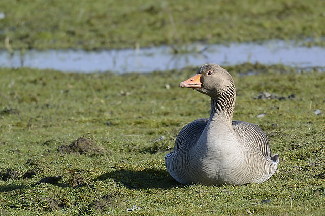 Frontal view of a wild Greylag goose on Borkum island