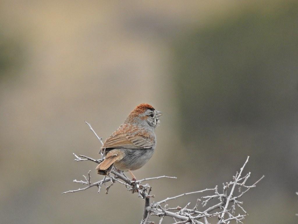 Unknown Sparrow