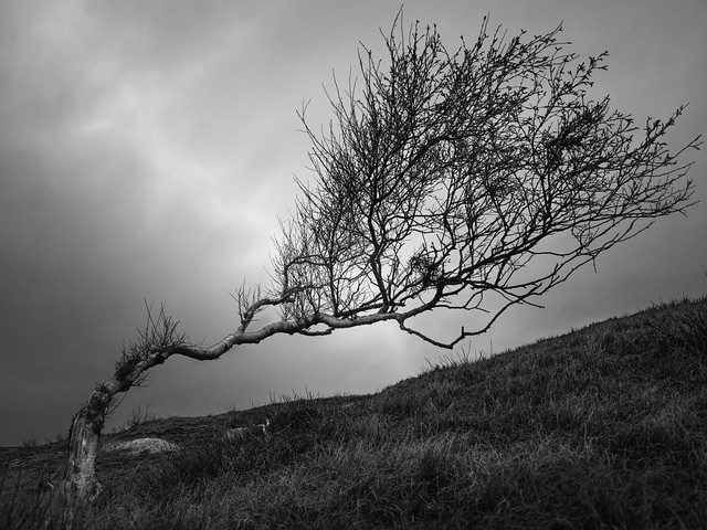 Trees of Norderney #2