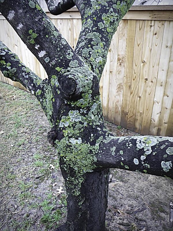 tree lichen 1