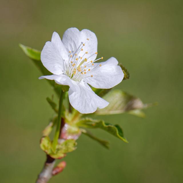 Les bourgeons fleurissent