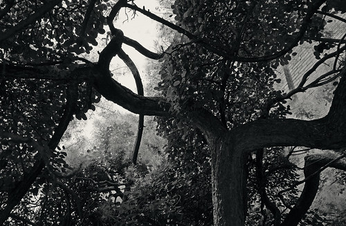 pennylane orchardparkboulevard toronto ontario canada jsp8082 torontophotowalk torontophotowalks littleindiabazaar topwlib tree trees shrubs under underneath below lookingup branches hereandthere everywhere everydirection magicalplace blackandwhite blackwhite bw toned