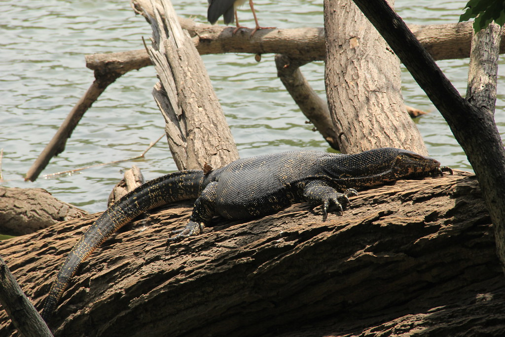 Monitor lizard on the shores of Kandy Lake