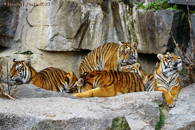 Tiger mal Fünf - Five Tiger