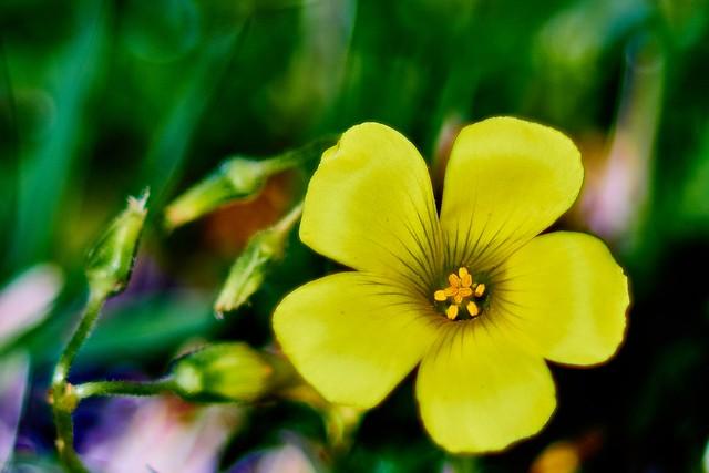 Oxalis pes-caprae... spring yellow joy!