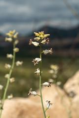 2020 02 Lyreleaf Jewelflower near the Waterman Peak Parking