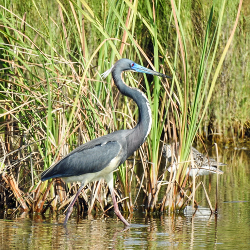 us usa america unitedstates southtexas day11 southpadreisland birdingandnaturecentre nature wildlife avian ornithology bird heron tricoloredheron egrettatricolor breedingplumage walking sideview wetland water outdoor 29march2019 nikon p900 nikonp900 coolpix annkelliott anneelliott ©anneelliott2019 ©allrightsreserved