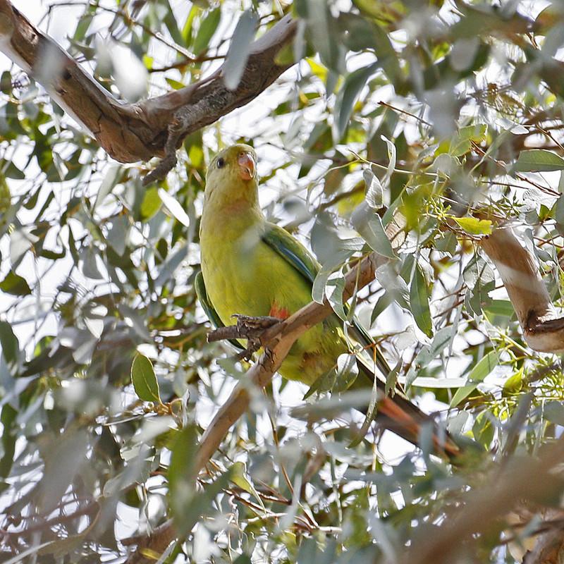 Friends - Superb Parrot