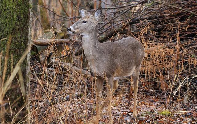 white-tailed deer doe at Lake Meyer Park IA 653A9273
