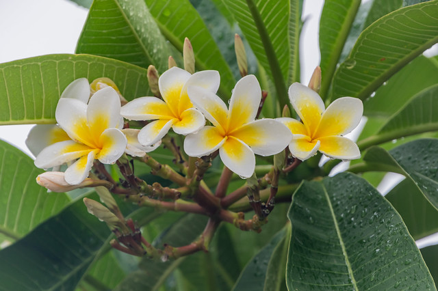 Frangipani Flowers with Rain Drops