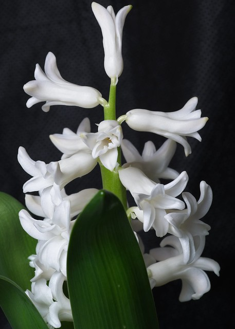 White Hyacinth 20200318 (Dark Background)