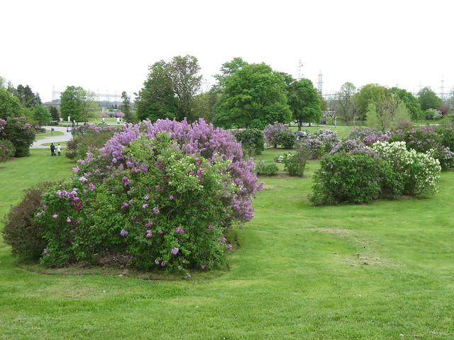 Centennial Lilac Garden 3
