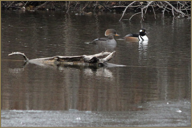 IMG_832- A Pair of Cool Merganzers on an Icy Pond, 18 March, 2020