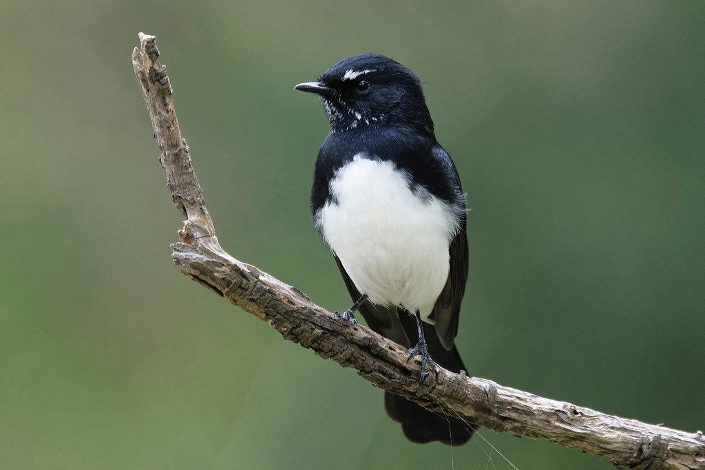 Willie Wagtail- Dressed to Impress