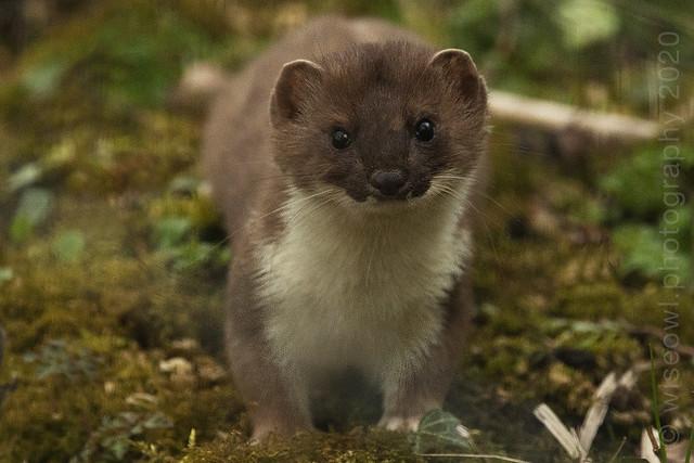 Weasel-4542