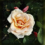 Apricot rose...