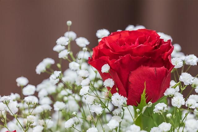 _29A2041-43.0320.Hoa Hồng, hoa Baby.