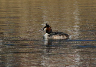 Great Crested Grebes | by themadbirdlady