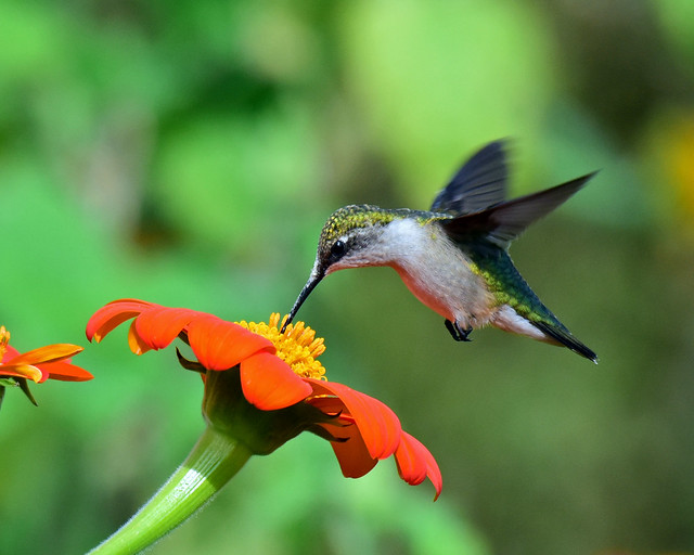 810_6177.jpg=  Ruby-throated Hummingbird