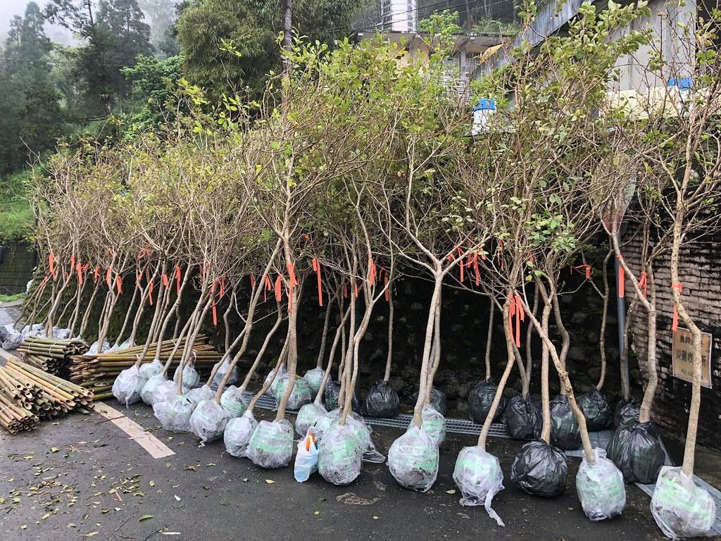 2020年的一樹一山一共種下180顆流蘇,五年來累計種滿1360棵。孫文臨攝