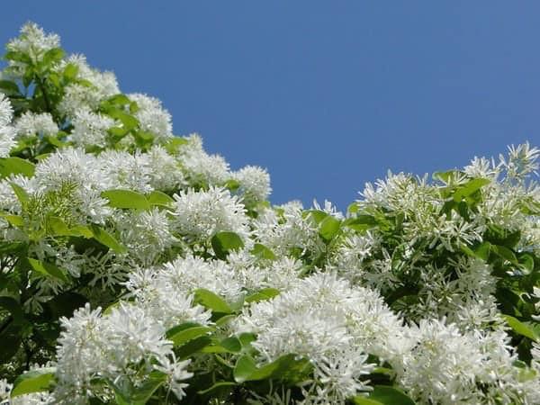 第一年種下的流蘇樹已經開始開花了。黃一峯提供