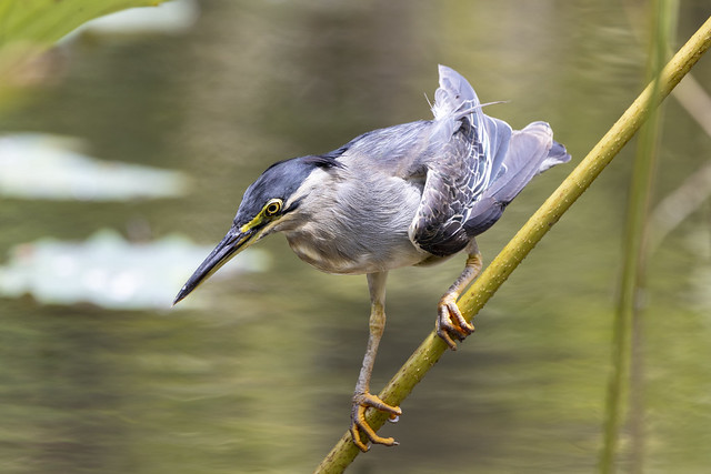 Mauritius - Striated Heron preparing his catch of the day