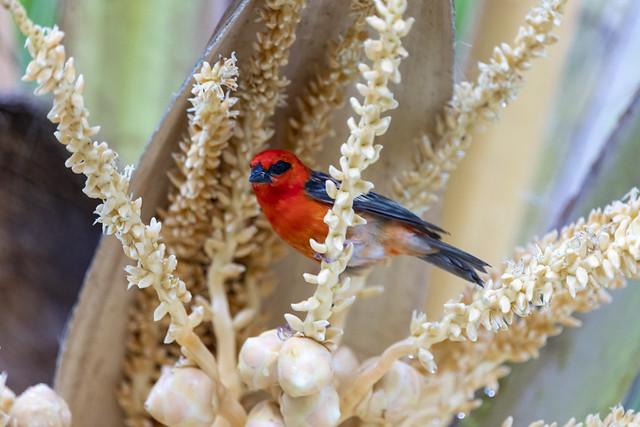 Mauritius Bird Life - Blossom