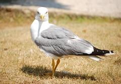Rovinj Seagull