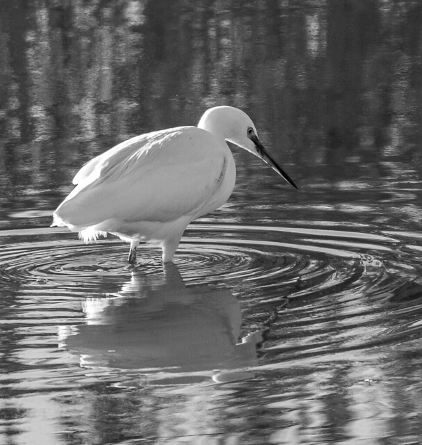 Little Egret in Black and White