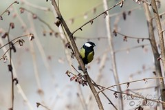 Mésange charbonnière - Parus major - Great Tit : IMG_4525_©Michel_NOEL_2020