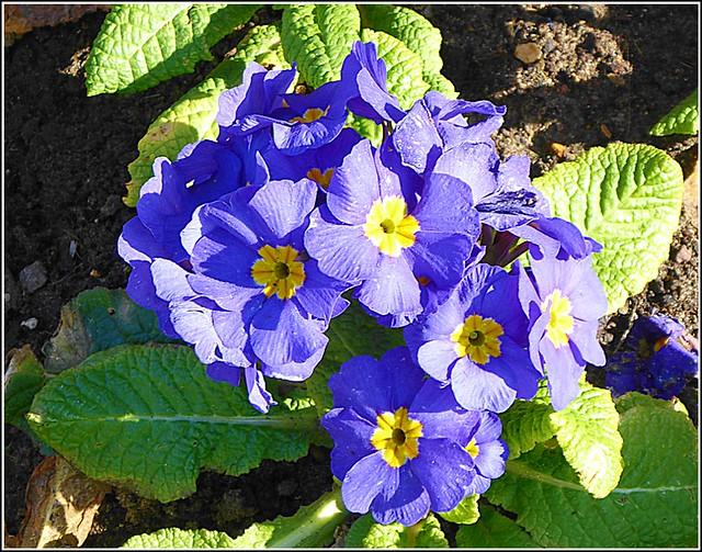 Belarina Cobalt Blue ..