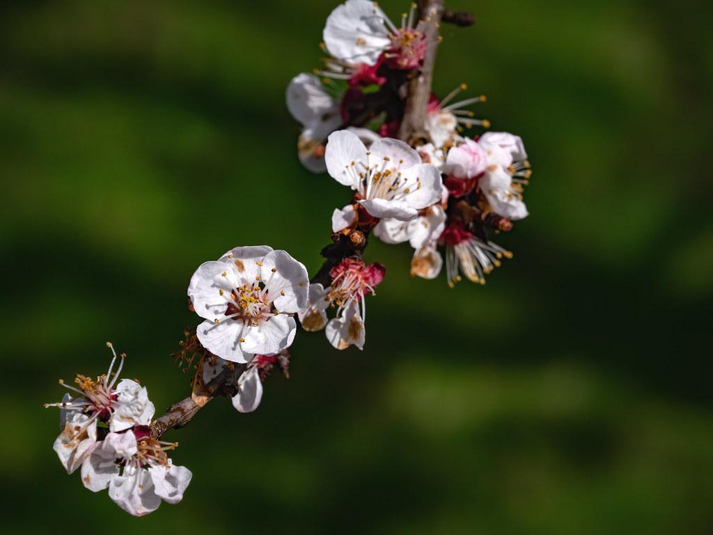 Fleurs de prunier sauvage sur les berges de l'Aube... + luminosité 49676853043_5b5369bf75_b